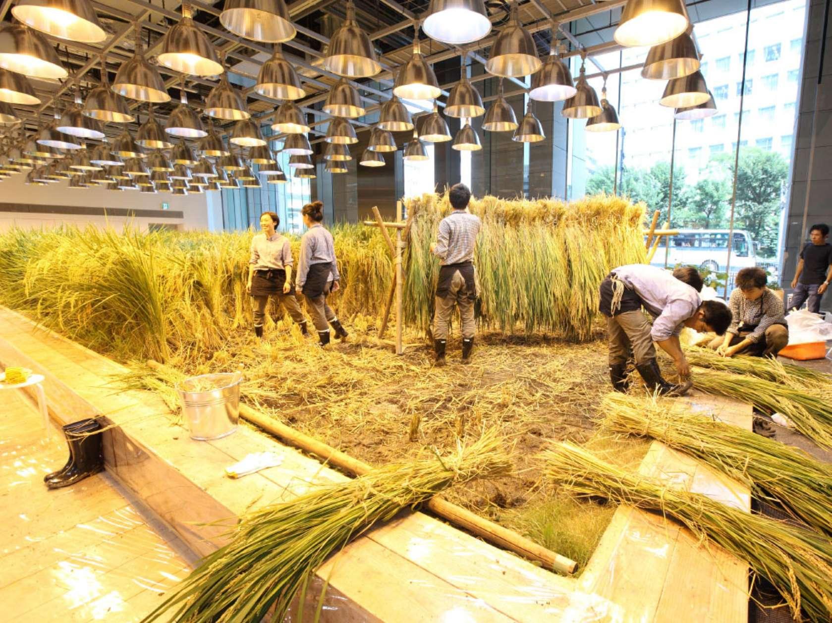 קציר שדה האורז בעזרת עובדי החברה